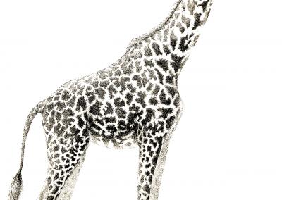 giraffe* w-copyrightcopy copy
