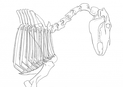 lateral horse skeleton