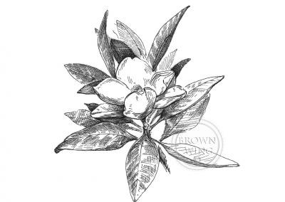 magnolia **aacopy copy