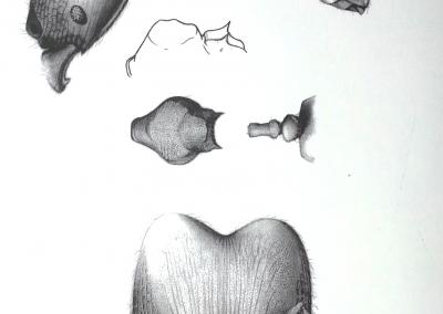 pheidole a